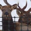 Tenax Elk Control Fence 6' X 100' Black 2A110185