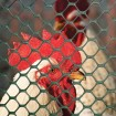 Tenax Poultry Fence 3' x 25' Black 72120546